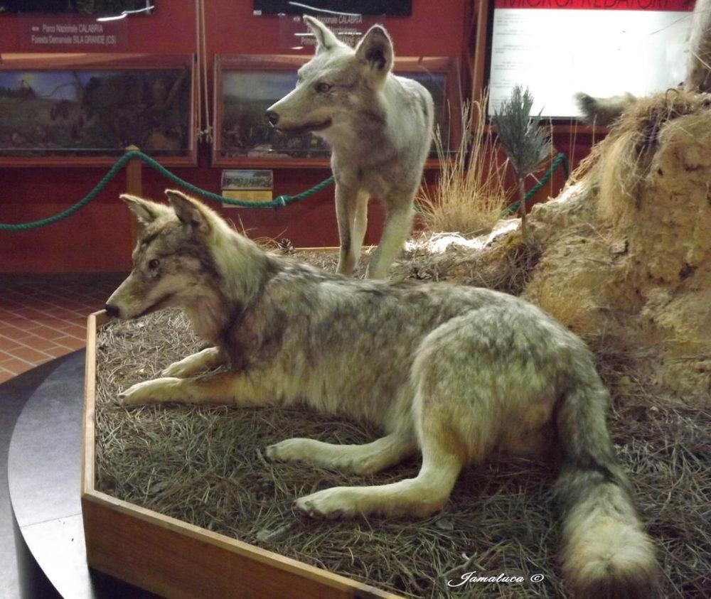 Museo del Lupo